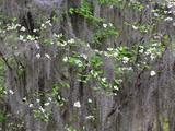 Flowering Dogwood Tree and Spanish Moss  South Carolina