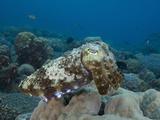Reef Cuttlefish (Sepia)  Milne Bay  Papua New Guinea