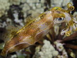 The Male Bigfin Reef Squid (Sepioteuthis Lessoniana) Can Reach 14 Inches in Length  Hawaii  USA