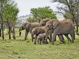 African Bush Elephant Herd (Loxodonta Africana)  Serengeti National Park  Tanzania  Africa