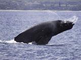 Humpback Whale Breaching (Megaptera Novaeangliae)  Hawaii  USA