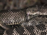 Santa Catalina Rattlesnake (Crotalus Catalinensis)  Native to Santa Catalina Island  Captive