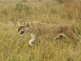 Female African Lion Driving a Male Lion Away from Cubs (Panthera Leo)  Masai Mara Game Reserve