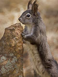 Abert&#39;s Squirrel or Tassel-Eared Squirrel (Sciurus Aberti) Is Normally All Black