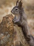 Abert's Squirrel or Tassel-Eared Squirrel (Sciurus Aberti) Is Normally All Black