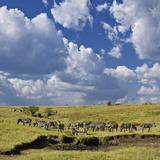 Panoramic View of Burchell's Zebra (Equus Burchelli)  Masai Mara Game Reserve  Kenya  Africa