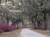Road Lined with Azaleas and Live Oaks  Quercus Virginiana  Draped with Spanish Moss
