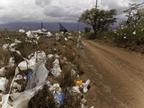 Shrubs and Trees Filled with Plastic Bags Downwind from a Landfill on the Island of Maui