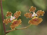 Orchid Flowers (Oncidium Altissimum)  Belize