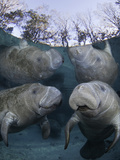 Endangered Florida Manatee Three Sisters Spring in Crystal River