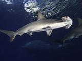 Scalloped Hammerhead Shark (Sphyrna Lewini)  Hawaii  USA