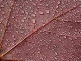 Water Drops on Red Maple Leaf  &#195;