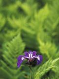 Blue Flag Iris  Iris Versicolor  Nestled Among Ferns  Unalaska Island  Alaska