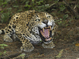 A Crouched and Aggressive Jaguar with Open Mouth  Showing its Sharp Teeth (Panthera Onca)  Belize