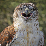 Ferruginous Hawk (Buteo Regalis)  Captive