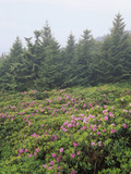 Catawba Rhododendrons on Roan Mountain   Overlooking the Cherokee National Forest