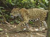 Jaguar Walking (Panthera Onca)  Belize
