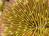 Mushroom Coral (Fungia Scutaria) Is Unique in the Coral World in That it Does Not Attach Itself