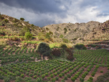 Vineyard  Crete  Greece