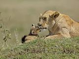 Lioness and Young Cub (Panthera Leo)  Masai Mara Game Reserve  Kenya  Africa