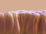Cross-Section of Columnar Epithelium Cells of the Mammal Gallbladder