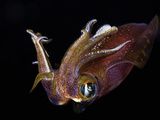 Male Bigfin Reef Squid (Sepioteuthis Lessoniana)  Hawaii  USA