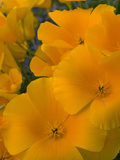 Mexican Poppy Flowers (Eschscholzia Mexicana)  Sonoran Desert  Arizona  USA