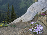 Phlox and Other Wildflowers Grow Next to a Dead Tree Root
