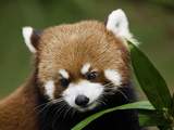 Red Panda (Ailurus Fulgens) Has Small Features Like Cat But the Markings of a Raccoon or Panda