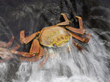 A Wave Washes over a Sally Lightfoot Crab (Graspus Graspus) Searching for Algae