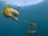Sea Nettle (Chrysaora Fuscescens)  Carmel Bay  Monterey County  California  USA
