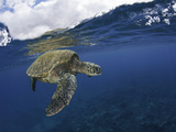 A Green Sea Turtle (Chelonia Mydas) Rests at the Ocean Surface Between Breaths