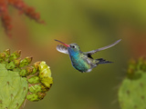 Broad-Billed Hummingbird (Cynanthus Latirostris) Approaching a Prickly Pear Cactus Bloom