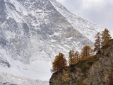 Larch Trees  Larix Deciduas  at Base of the Matterhorn  Zermatt  Switzerland