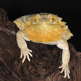 Bearded Dragon (Pogona Vitticeps)  Captive