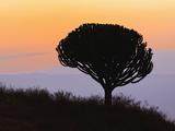 Candelabra Tree (Euphorbia Ingens) Silhouetted at Sunrise  Ngorongoro Crater  Tanzania  Africa