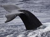 The Fluke Up Dive of a Humpback Whale (Megaptera Novaeangliae)  Hawaii  USA