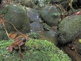 Long-Nosed Horned Frog Sitting on Moss Along a Rain Forest Stream (Megophrys Nasuta)