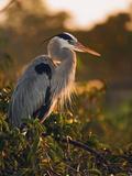 Great Blue Heron at Sunrise  Wakodahathcee Wetlands Near Delray Beach  Florida (Ardea Herodias)
