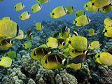 A Reef Scene with Schooling Milletseed Butterflyfish  and Raccoon Butterflyfish