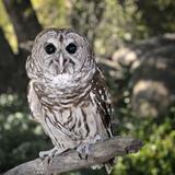 Boreal Owl (Aegolius Funereus)  Captive
