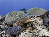 Green Sea Turtles (Chelonia Mydas)  an Endangered Species  Hawaii  USA