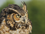 Great Horned Owl  Bubo Virginianus  Captive
