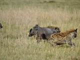 Spotted Hyenas (Crocutcrocuta) Attacking Desert Warthog (Phacochoerus Aethiopicus)   Kenya