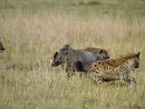 Spotted Hyenas (Crocutcrocuta) Attacking Desert Warthog (Phacochoerus Aethiopicus)   Kenya