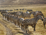 Burchell's Zebra (Equus Burchelli) Waiting in Line for Dust Bath  Ngorongoro Crater  Tanzania