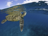 A Green Sea Turtle (Chelonia Mydas) Lifts its Head to the Surface for a Breath