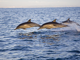 Common Dolphins Leaping from the Ocean (Delphinus Delphis) San Diego  California  USA