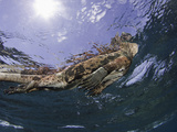 Marine Iguana (Amblyrhynchus Cristatus) Taking a Breath on the Surface