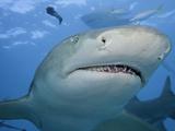 Lemon Shark Head (Negaprion Brevirostris)  Bahamas  Atlantic Ocean